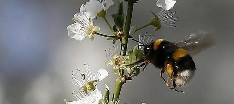 La investigación se centró en 62 especies de abejas en el Reino Unido y relacionó el declive...