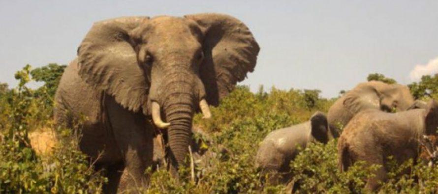 El elefante africano sufre la mayor ca�da de poblaci�n en 25 a�os