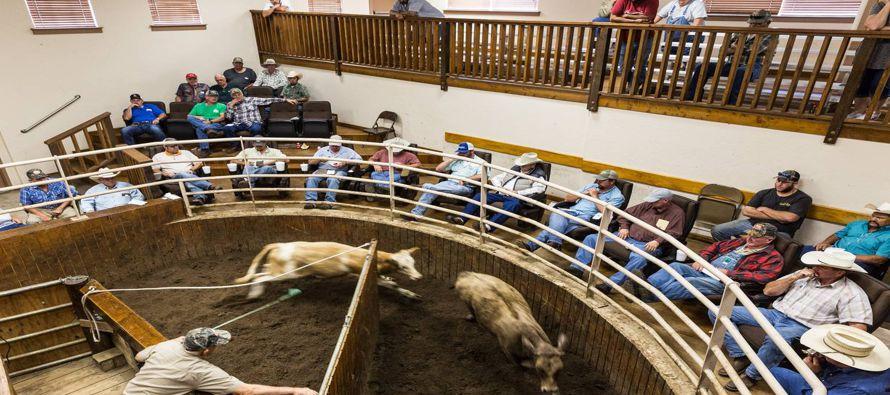 El desorden en la compraventa de futuros de ganado ha dado lugar a un renacimiento de las subastas...