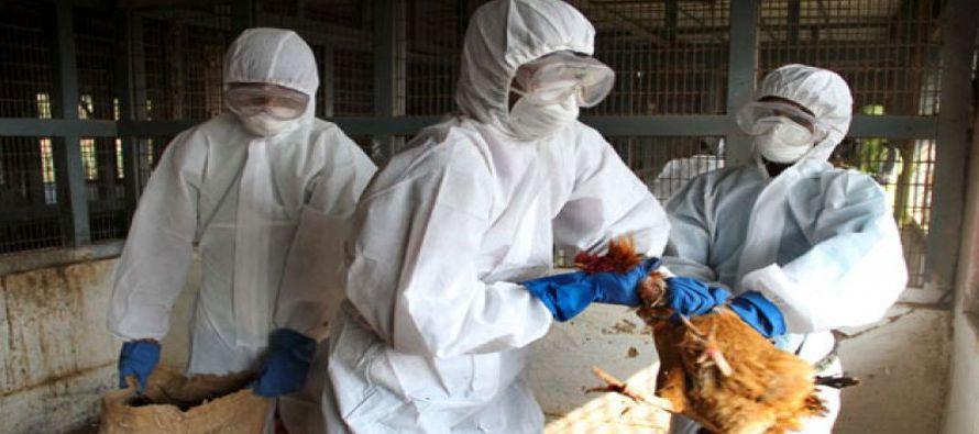 Las aves sacrificadas en Japón por el brote de gripe aviar recientemente detectado en el país...