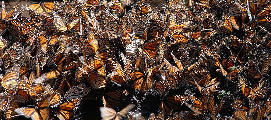 Uno de los principales objetivos de la Red Monarca, integrada por las organizaciones Alternare,...