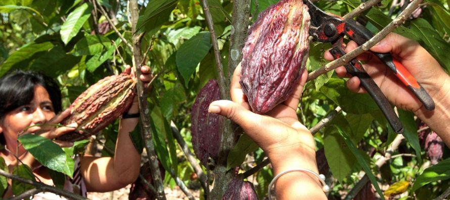 """""""Se trata de mejorar la producción de cacao en América Latina utilizando variedades mejoradas..."""