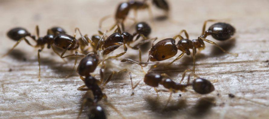 Unas 250 especies de hormigas agricultoras de hongos han sido encontradas en bosques tropicales,...