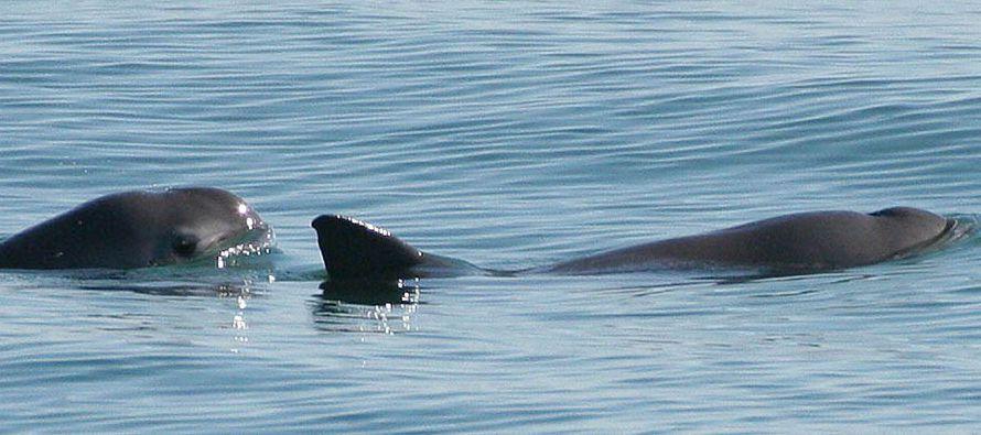 El cetáceo, del que quedan entre 30 a 40 ejemplares, está en peligro principalmente por la caza de...