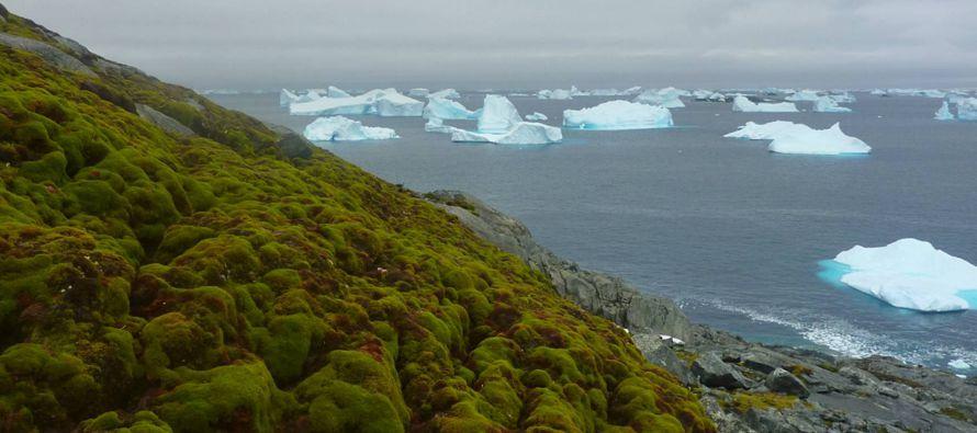 Un grupo de investigadores de la British Antarctic Survey ha agujereado cinco bancos de musgo...