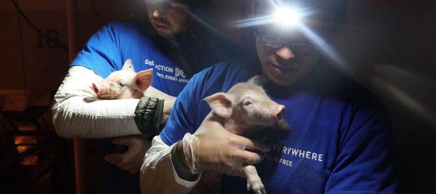 Igualdad Animal, un grupo con presencia en ocho países, fue el primero en usar la...