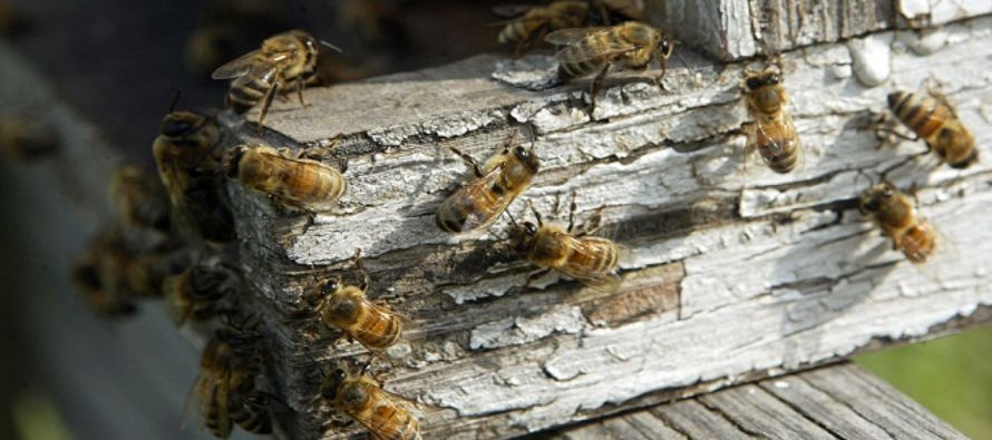 Hacer aspavientos es peor: cómo actuar cuando se te acercan y pican abejas y avispas