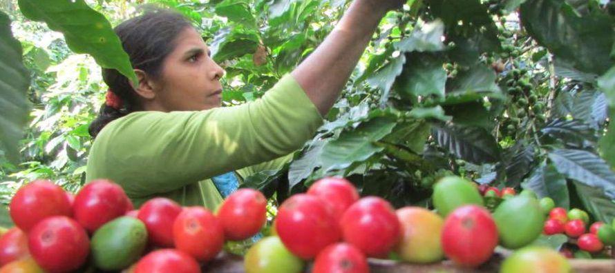 Las exportaciones mundiales de café aumentaron un 11 por ciento en julio frente al...