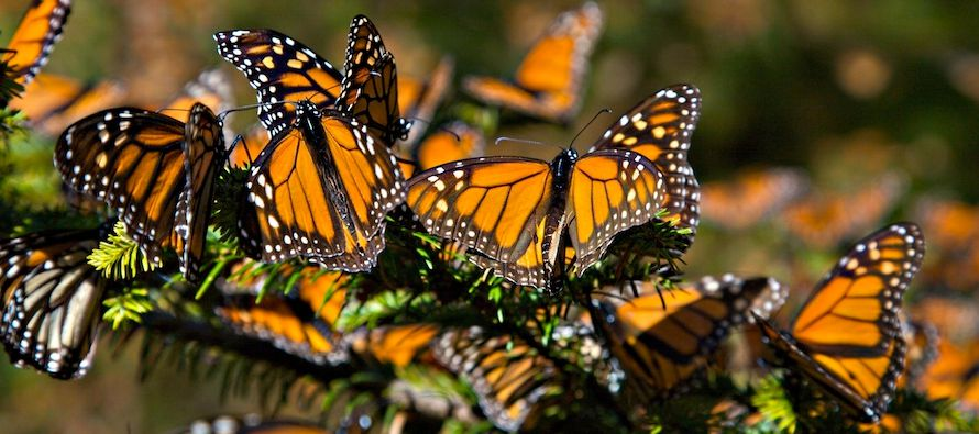 Las monarcas del oeste tienen un 63 por ciento de posibilidades de extinguirse en 20 años y...