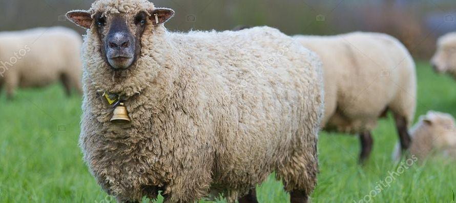 En un corral especialmente equipado, a las ovejas les mostraban imágenes de personas en dos...