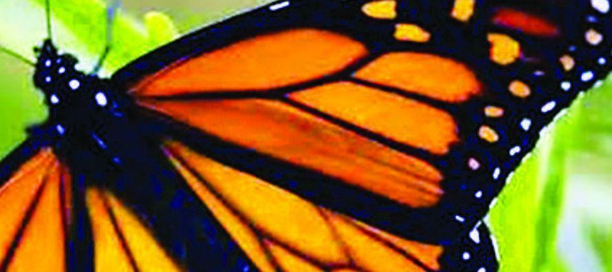 Los científicos creen que los declives en las poblaciones de mariposas monarca se deben a la...
