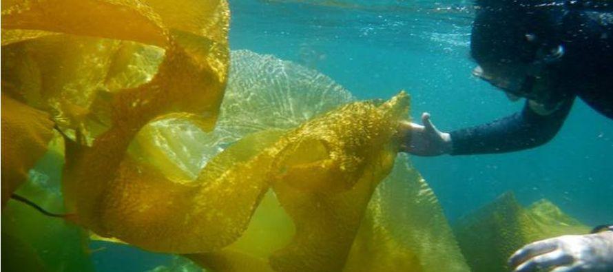 Esta alga de extraordinario tamaño es una mancha parda sobre el mar que se encuentra anclada...