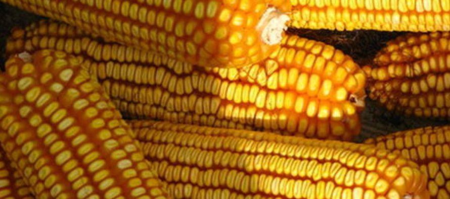 La investigación, que recoge datos relativos a 21 años de cultivos, determinó...
