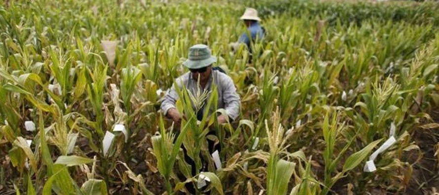 Pese a sus esfuerzos, los envíos de maíz sudamericano a México van en aumento....