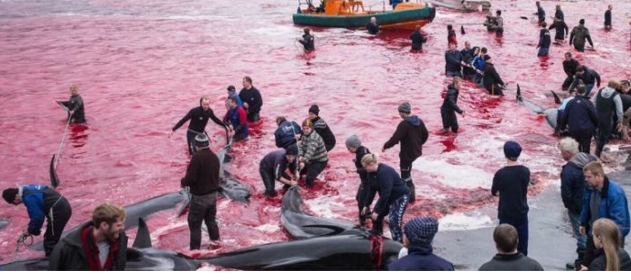 El panel suspendió la caza comercial de ballenas en la década de 1980, pero...