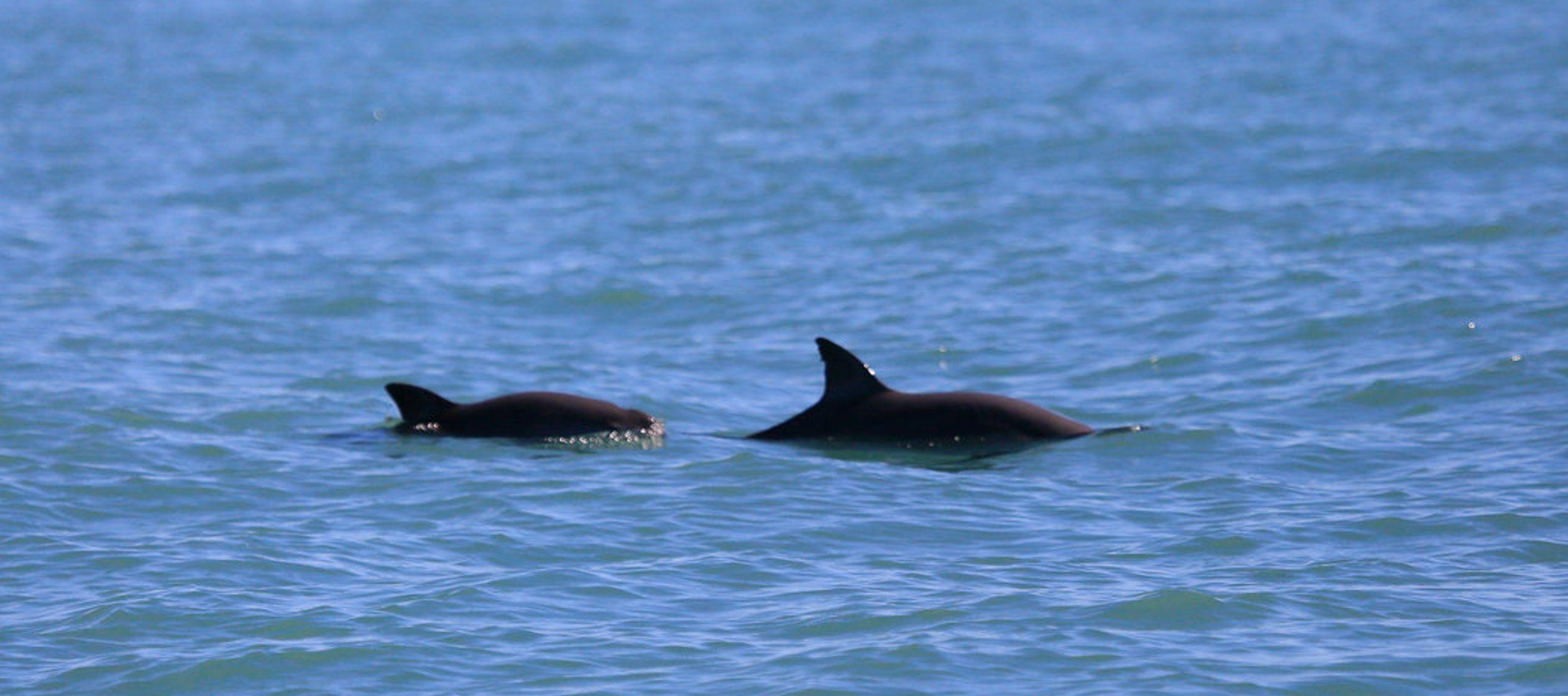 Un avistamiento de la vaquita marina da esperanza a científicos