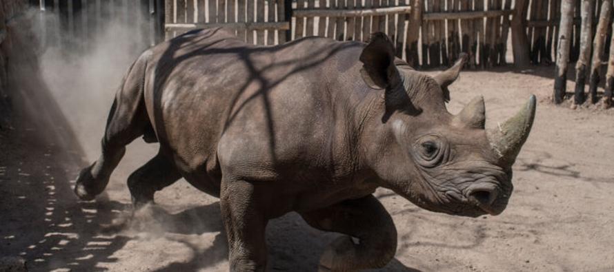 Mueren dos ejemplares de rinoceronte negro tras su traslado a Chad