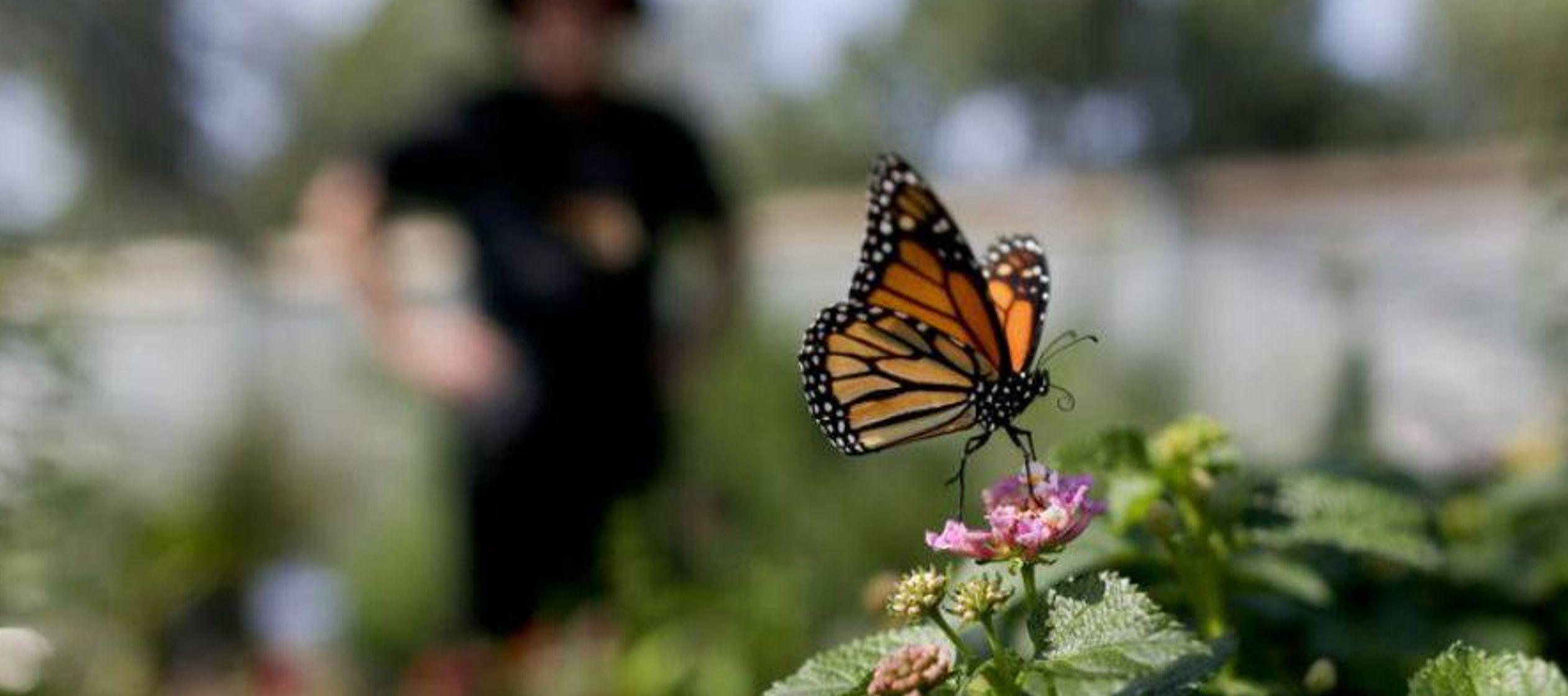 Millones de monarcas hicieron el viaje migratorio de cada año, en el que recorren 5,500...