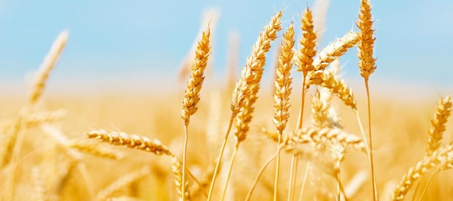 Lluvias de hasta 220 mm podrían afectar rendimientos de trigo de Argentina