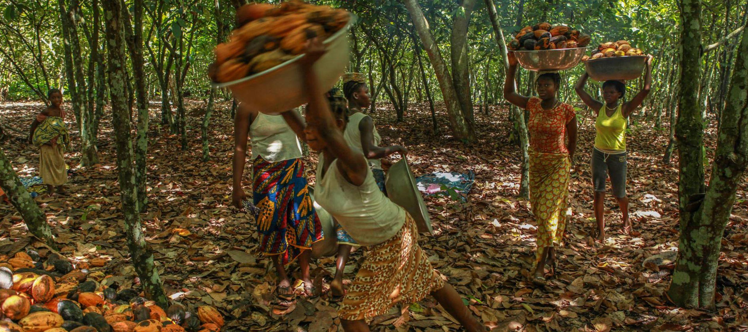 La industria chocolatera arrasa con los bosques de Costa de Marfil, según el informe de una ONG
